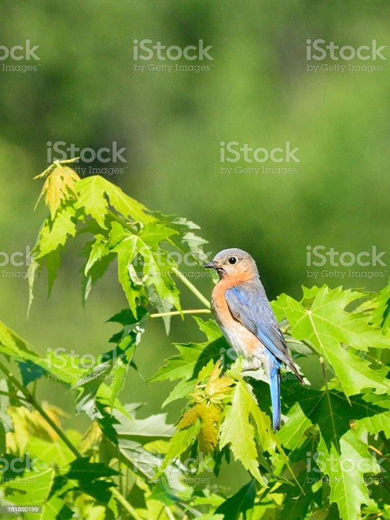 Female Eastern Bluebird royalty-free stock photo