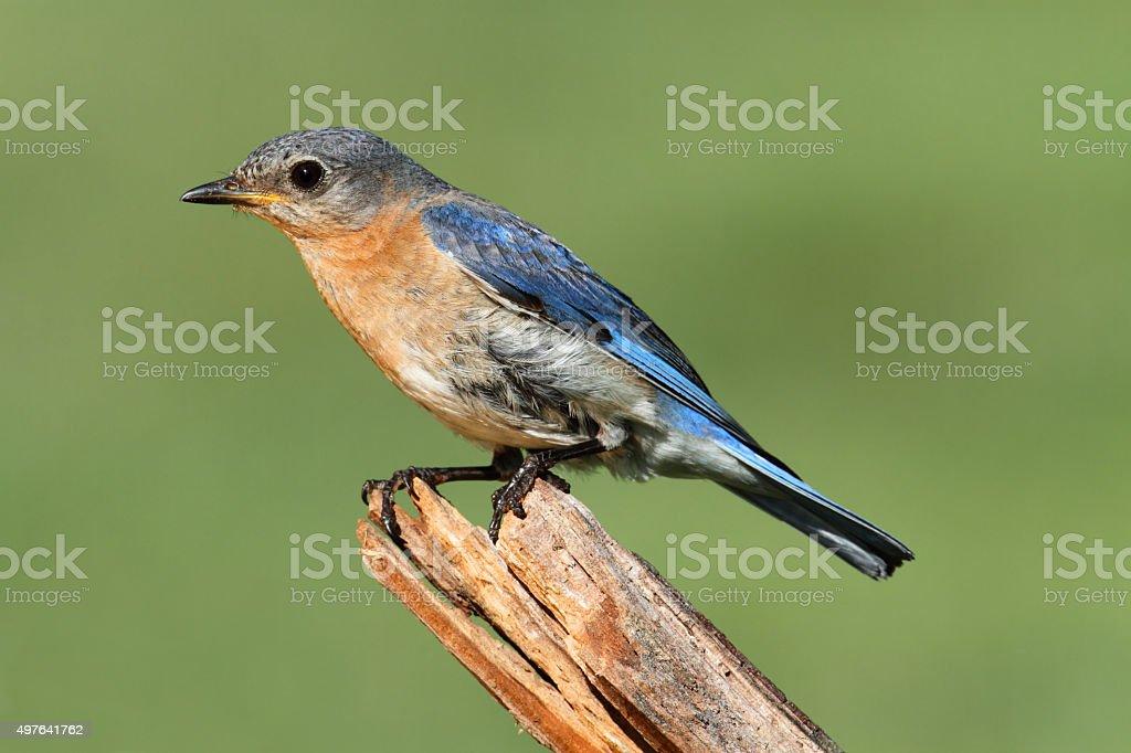 Female Eastern Bluebird stock photo