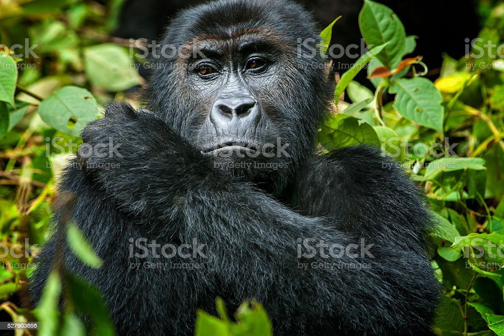 Female Eastern Lowland Gorilla in Congo, wildlife shot stock photo