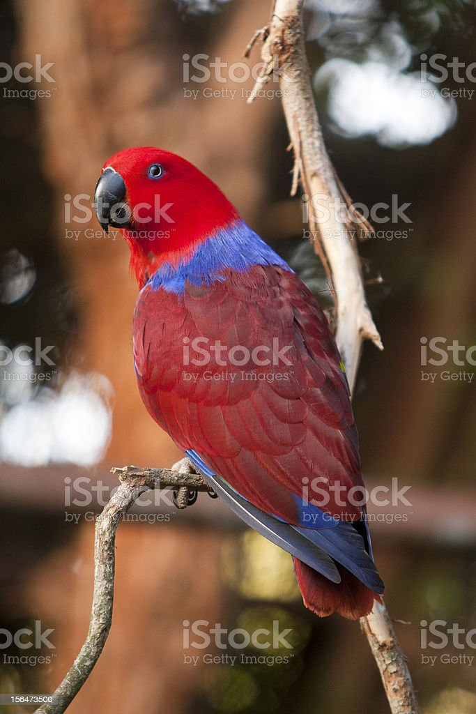 Female Eclectus parrot royalty-free stock photo