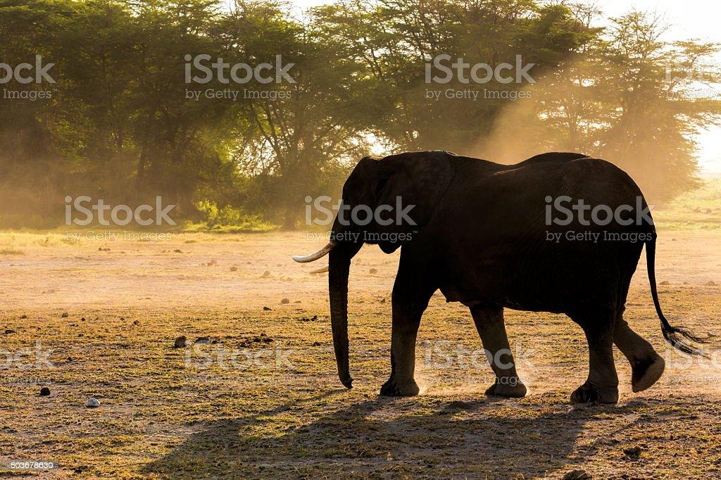 Female Elephant at Amboseli - backlit stock photo