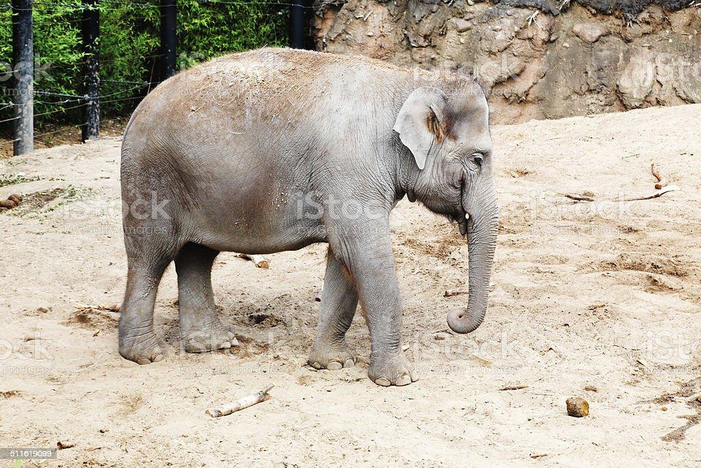 Female elephant on a sandy enclosure stock photo