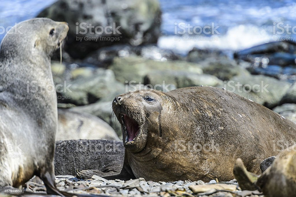 Female elephant seal swanks. royalty-free stock photo