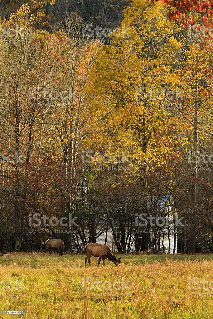 Female Elk Grazing stock photo