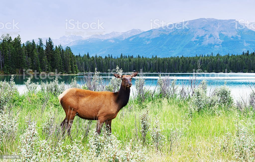 Female elk standing  near the lake, Jasper National Park,Canada stock photo