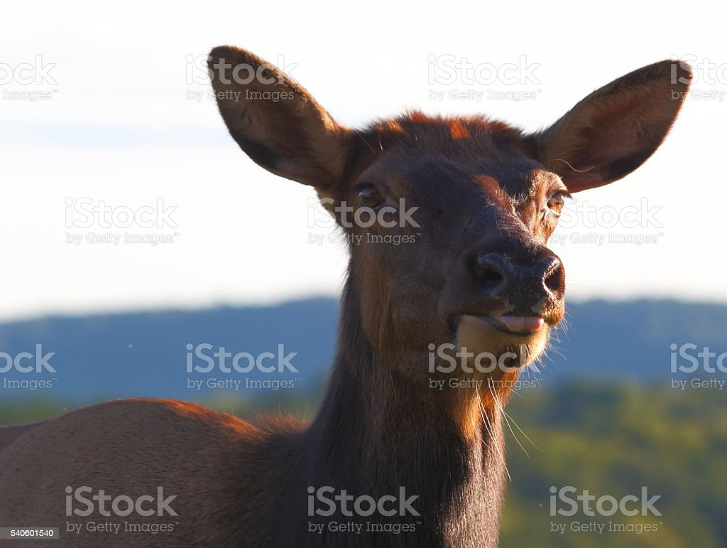 Female elk with tongue out stock photo