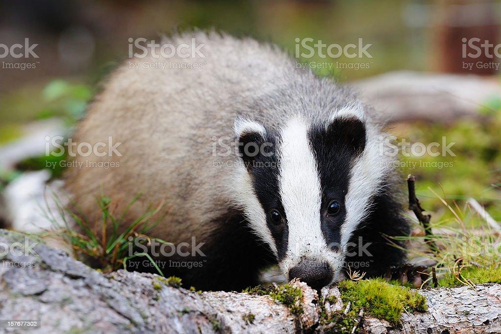 Female Eurasian badger stock photo