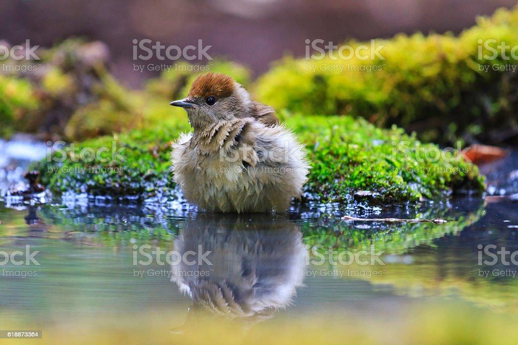Female Eurasian blackcap Sylvia atricapilla drinking water in an ecological stock photo