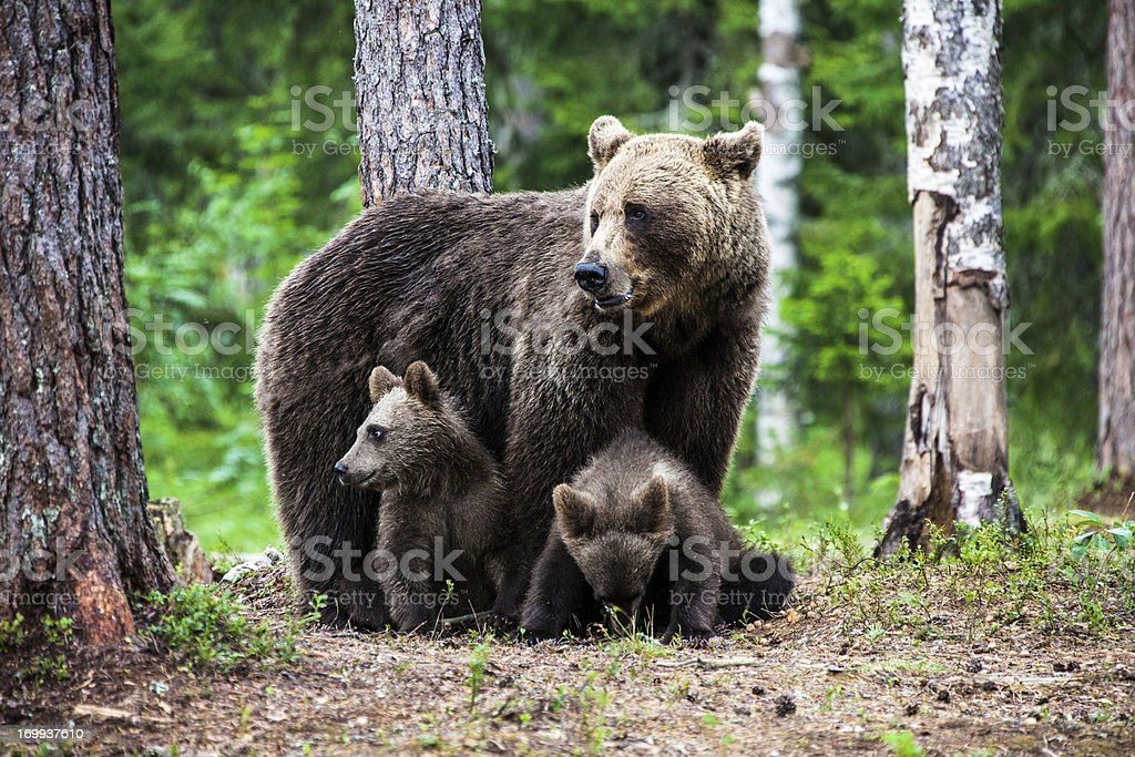 Female european brown bear with cubs stock photo