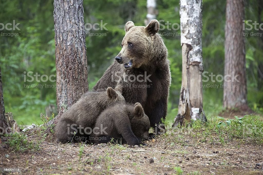 Female european brown bear with two cubs royalty-free stock photo