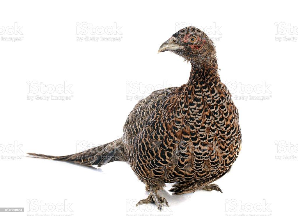 female European Common Pheasant royalty-free stock photo