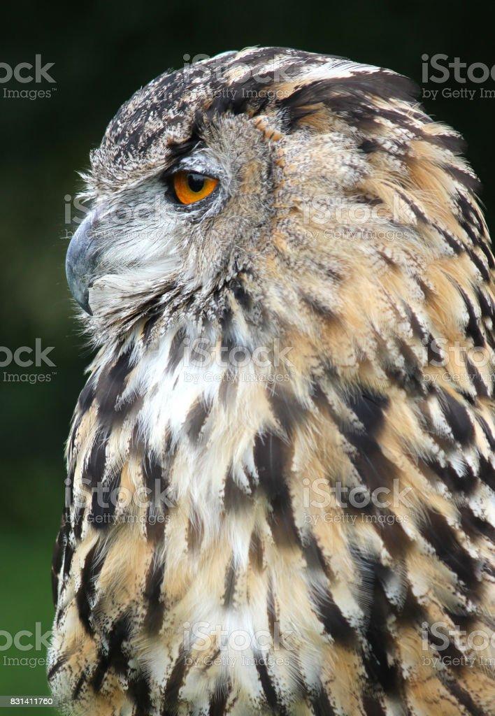 Female European / Eurasian eagle owl . Bird of prey stock photo