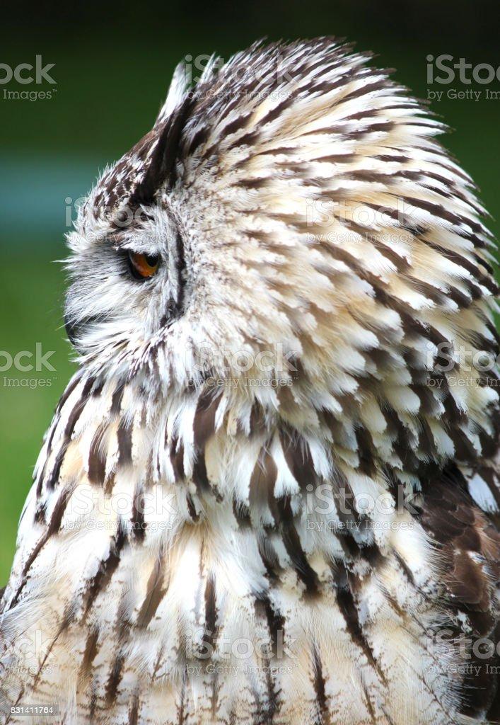 Female European / Eurasian Eagle owl .Bird of prey . stock photo