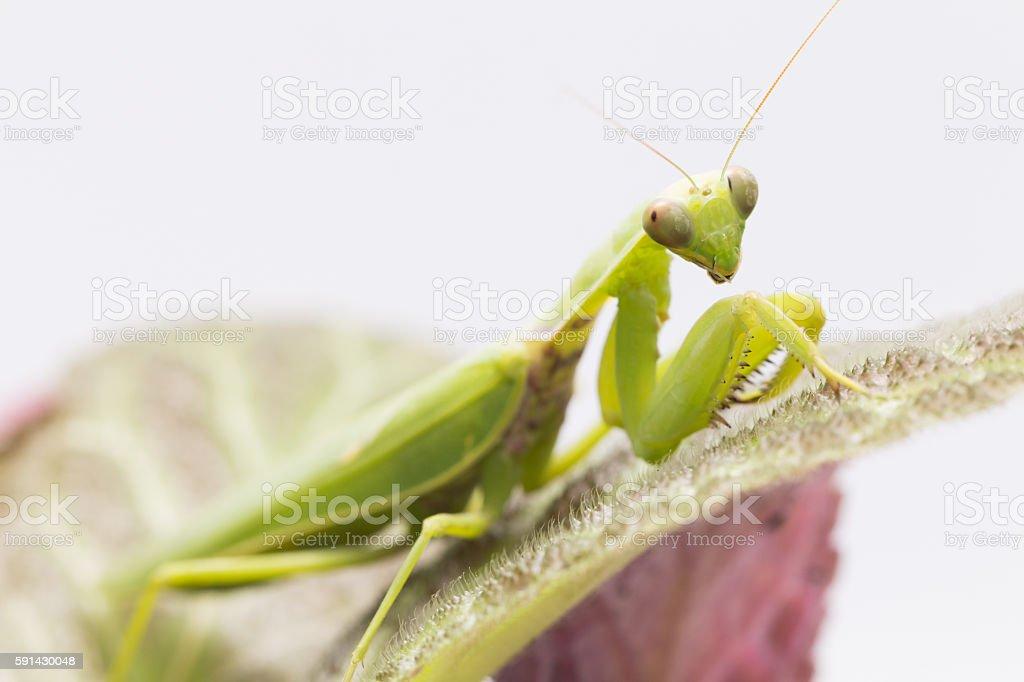 Female European Mantis or Praying Mantis, Mantis religiosa, on l stock photo