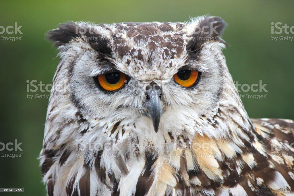 Female European/Eurasian Eagle owl . Bird of prey stock photo