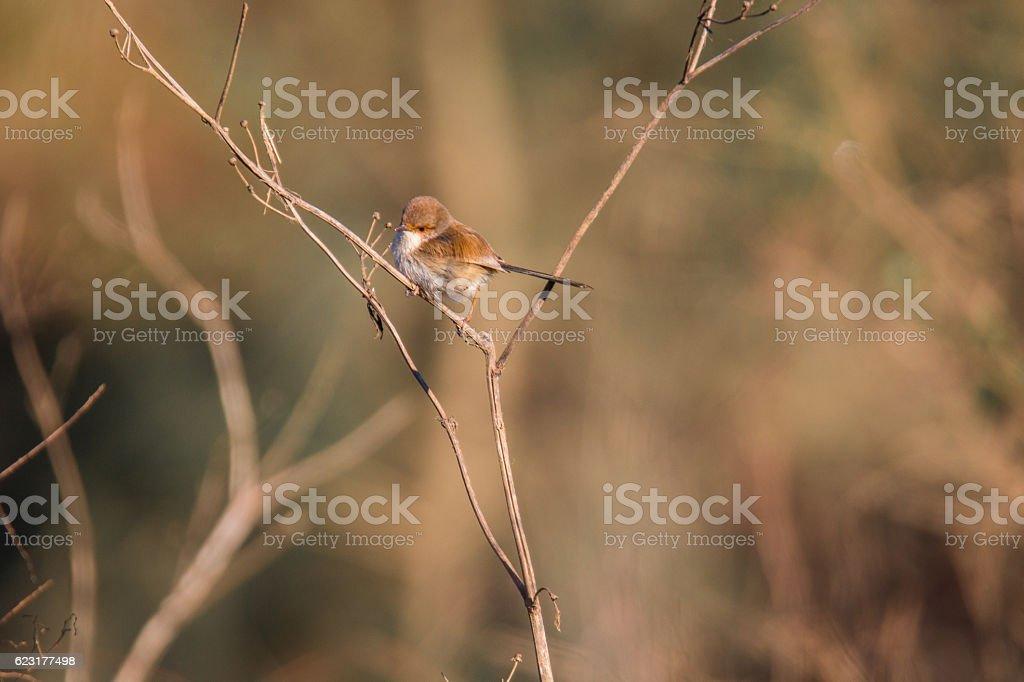 Female Fairy Wren stock photo