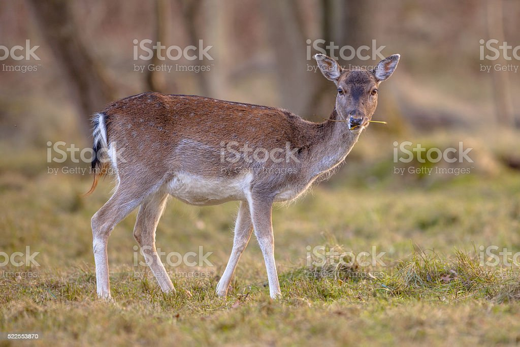Female Fallow deer eating grass stock photo