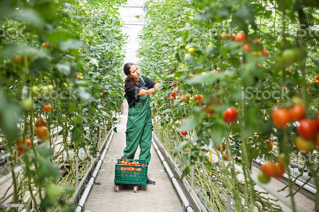 Female farm worker picking ripe tomatoes stock photo