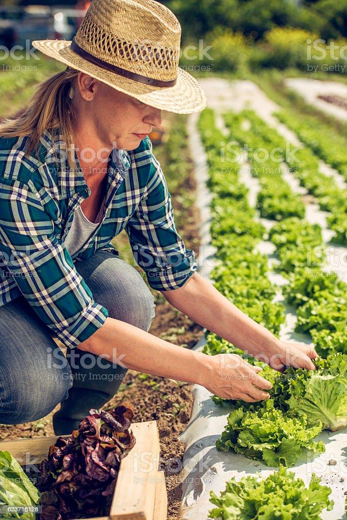 Female farmer harvesting lettuce stock photo