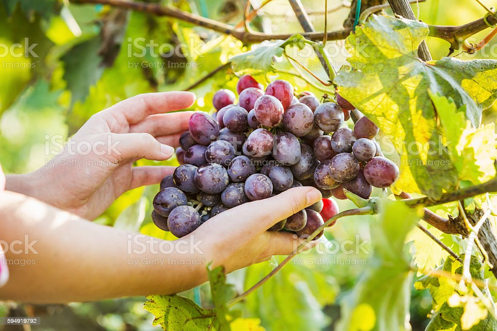 Female farmer holding a large branch of purple grapes. stock photo