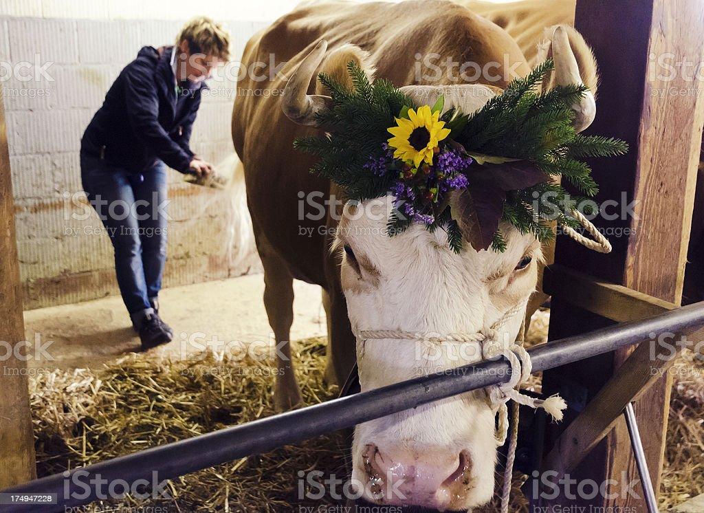 Female farmer preparing cattle for Aelperfest stock photo