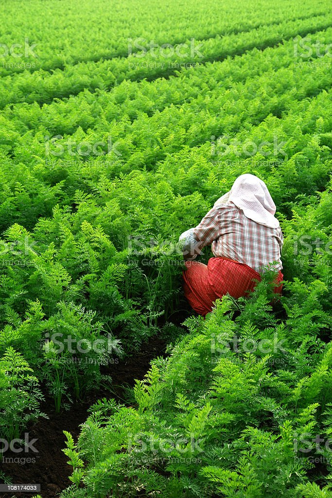 Female Farmer Working in Asian Crop Field royalty-free stock photo