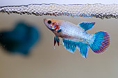 Female fighting fish guarding her newly laid eggs