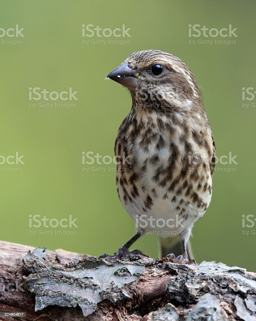 Female Finch Eating Seeds stock photo