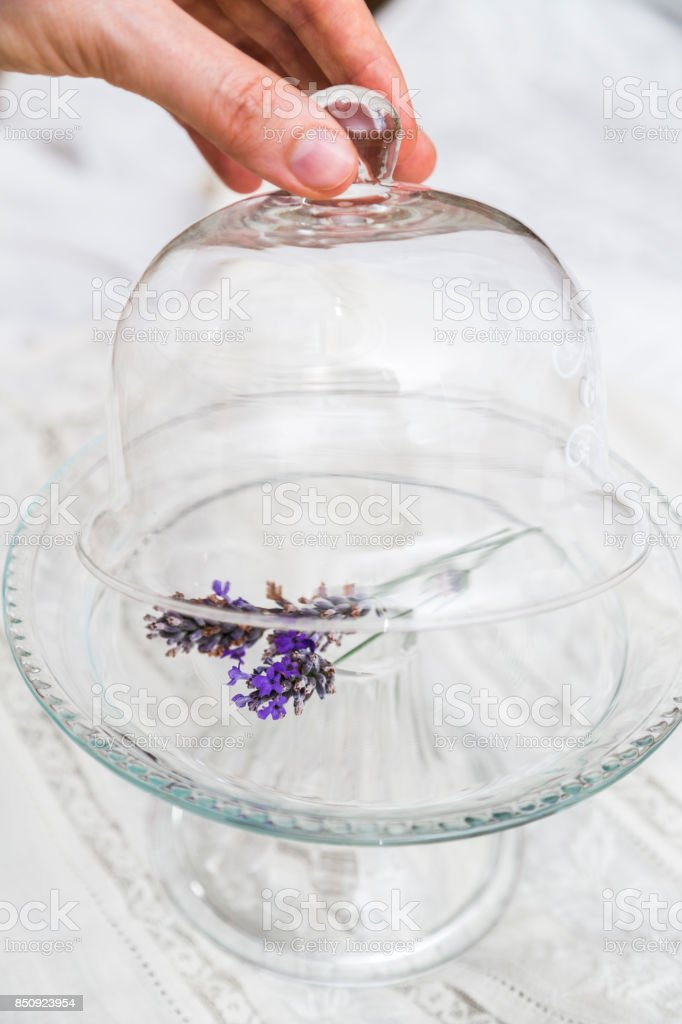 Female fingers open glass tray cup with lavender stock photo