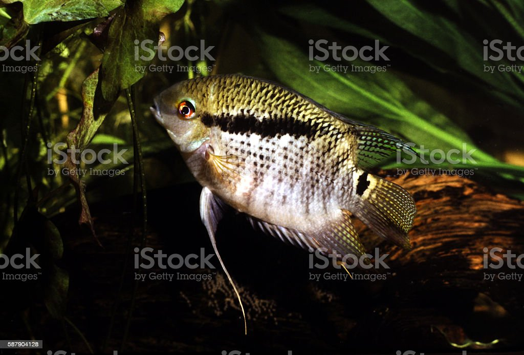 Female flag Cichlid. Mesonauta festiva. stock photo