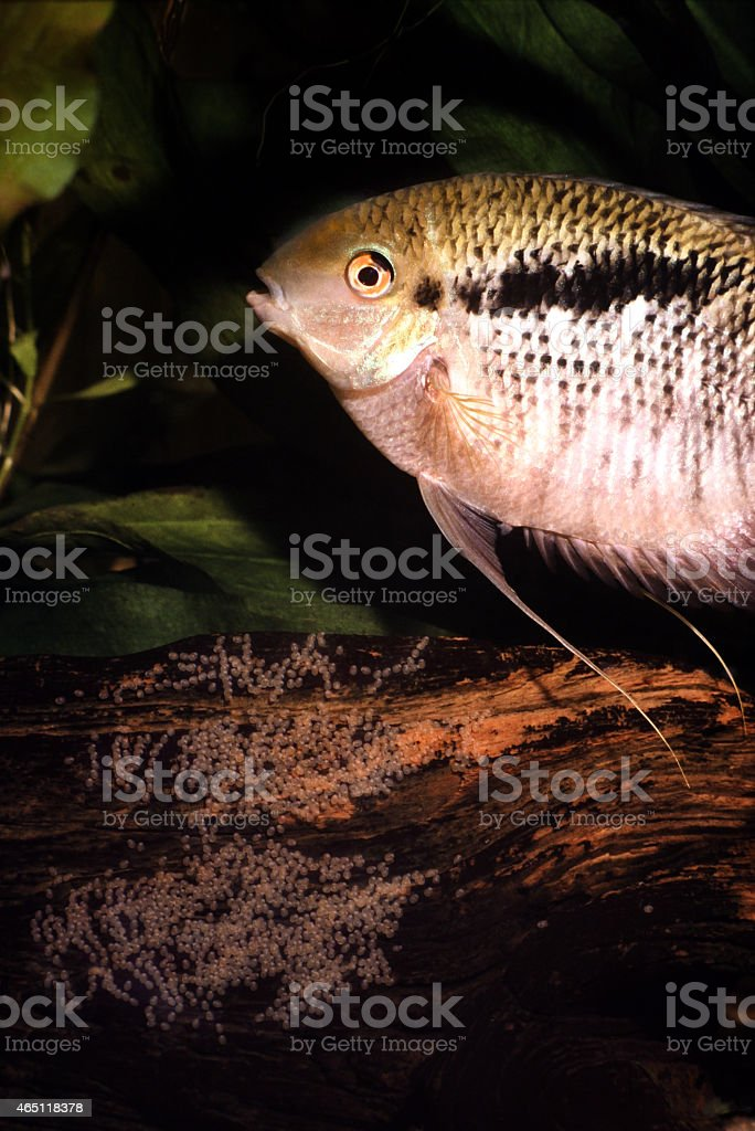 Female Flag cichlid protecting a clutch of eggs.Mesonauta festivus. stock photo