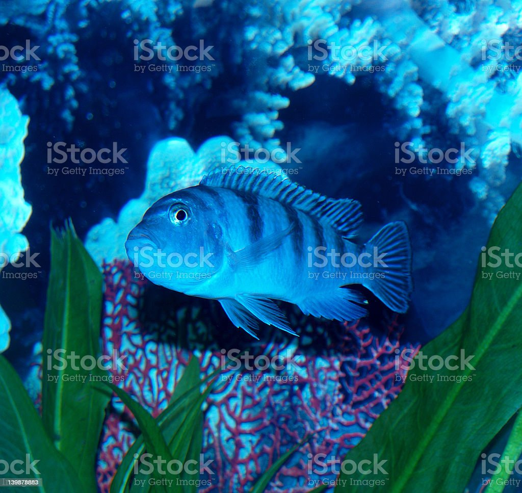 Female FreshWater Kenyi Pregnant stock photo