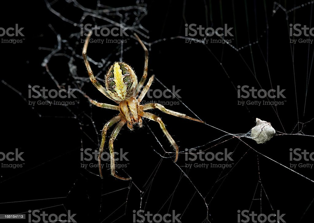 Female garden spider with eggs sac stock photo