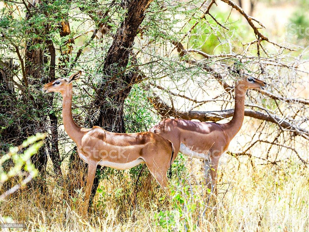 Female Gerenuks (giraffe antelope) (Litocranius walleri) under the shadow stock photo