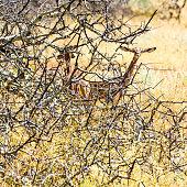 Female Gerenuks (giraffe antelope) (Litocranius walleri) under the shadow