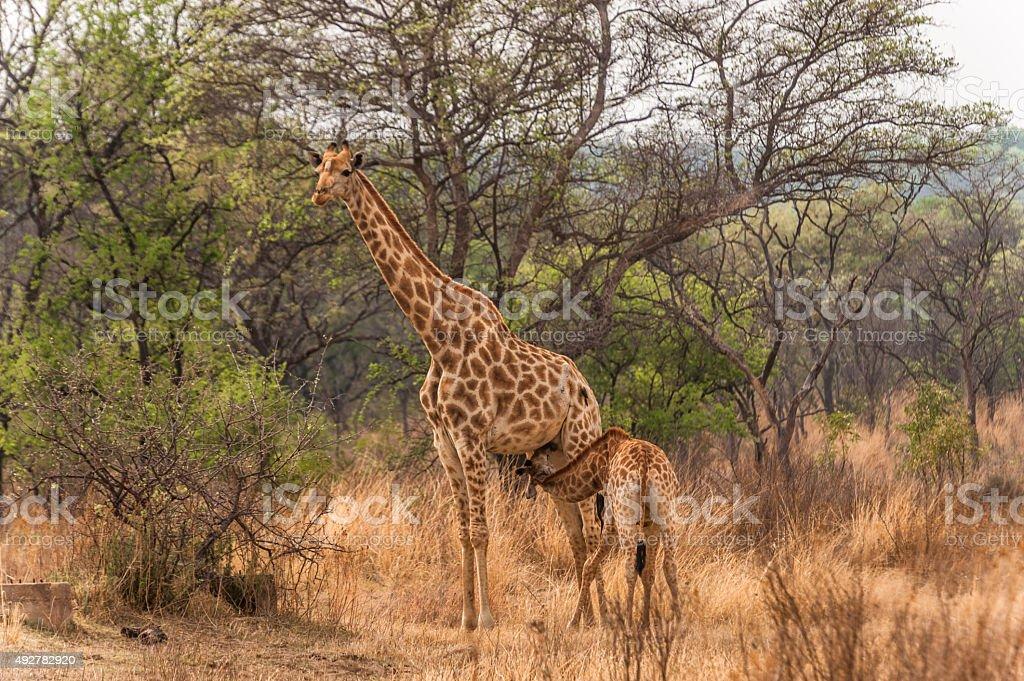 Female giraffe feeding her young stock photo