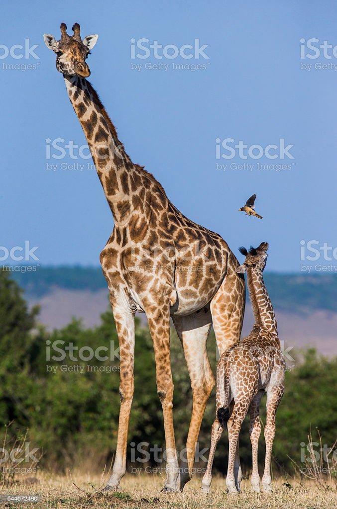 Female giraffe with a baby in the savannah. Kenya. Tanzania. stock photo