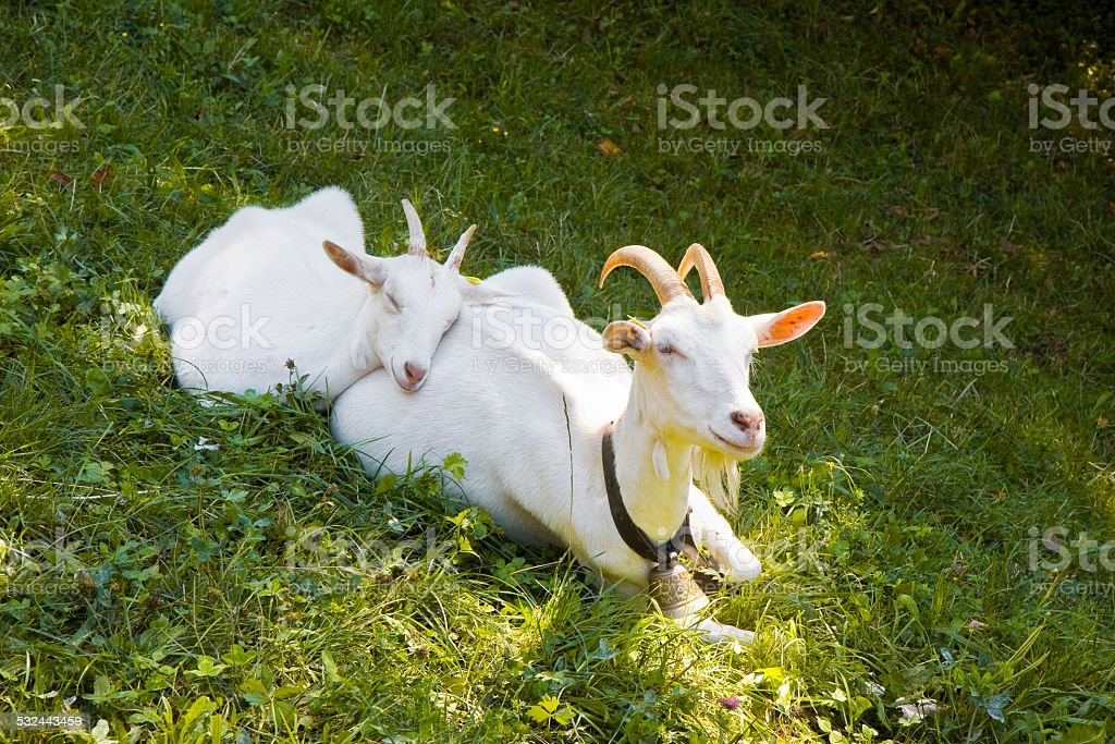 Female goat in the grass with her puppy stock photo