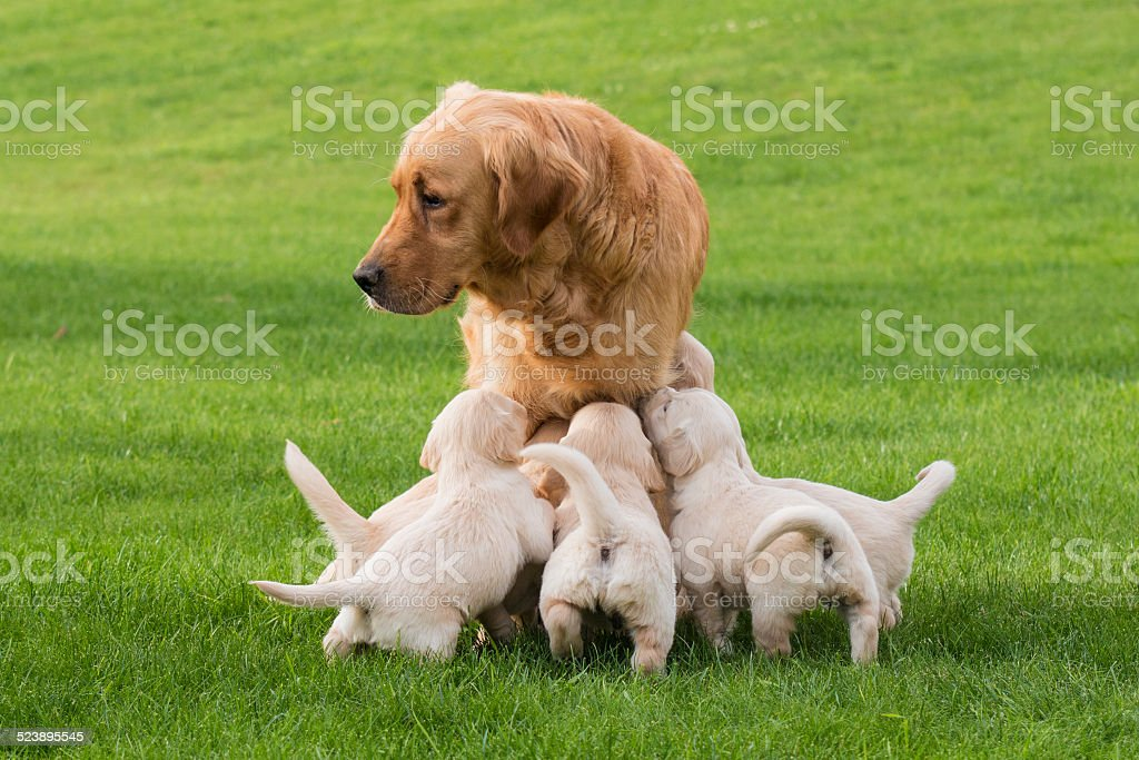 Female Golden Retriever with Puppies stock photo