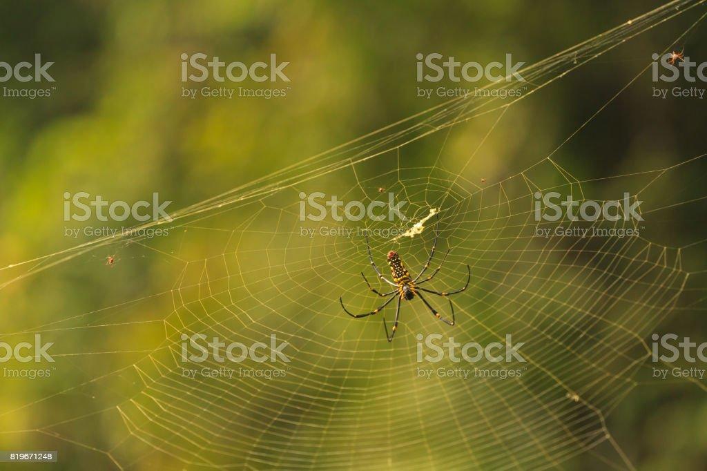 female Golden Web Spider Nephila pilipes stock photo