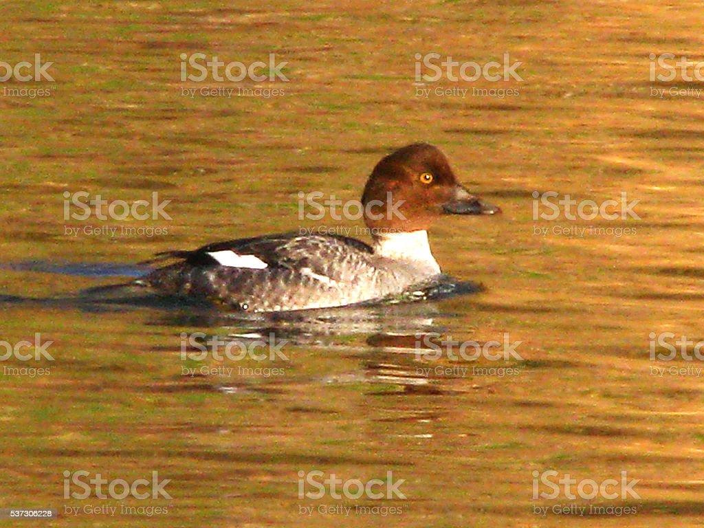 Female Goldeneye Duck Swimming Waterfowl Wildlife Gold Waves Freshwater Bird stock photo