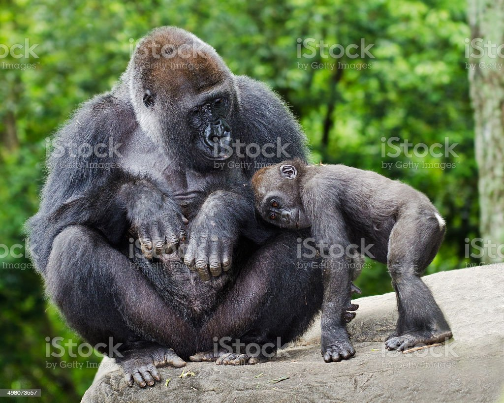 Female gorilla caring for young stock photo