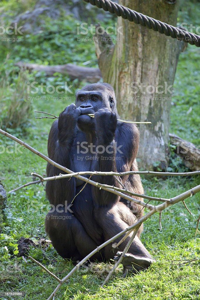 female gorilla eating stock photo