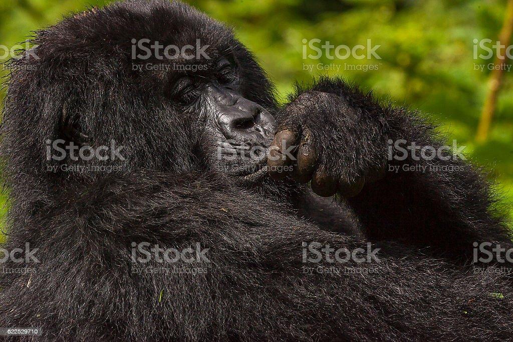 Female Gorilla Portrait stock photo
