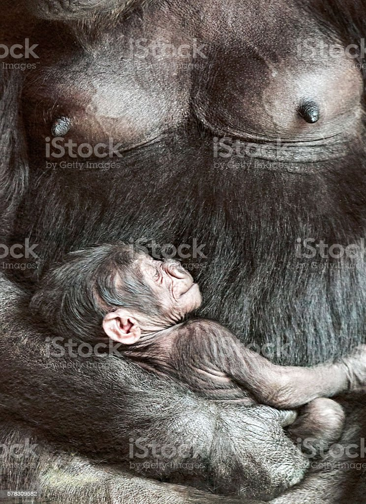 Female gorilla with baby stock photo