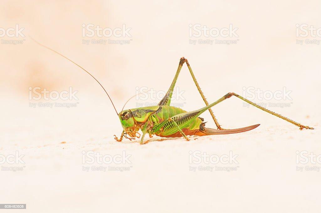 Female grasshopper stock photo