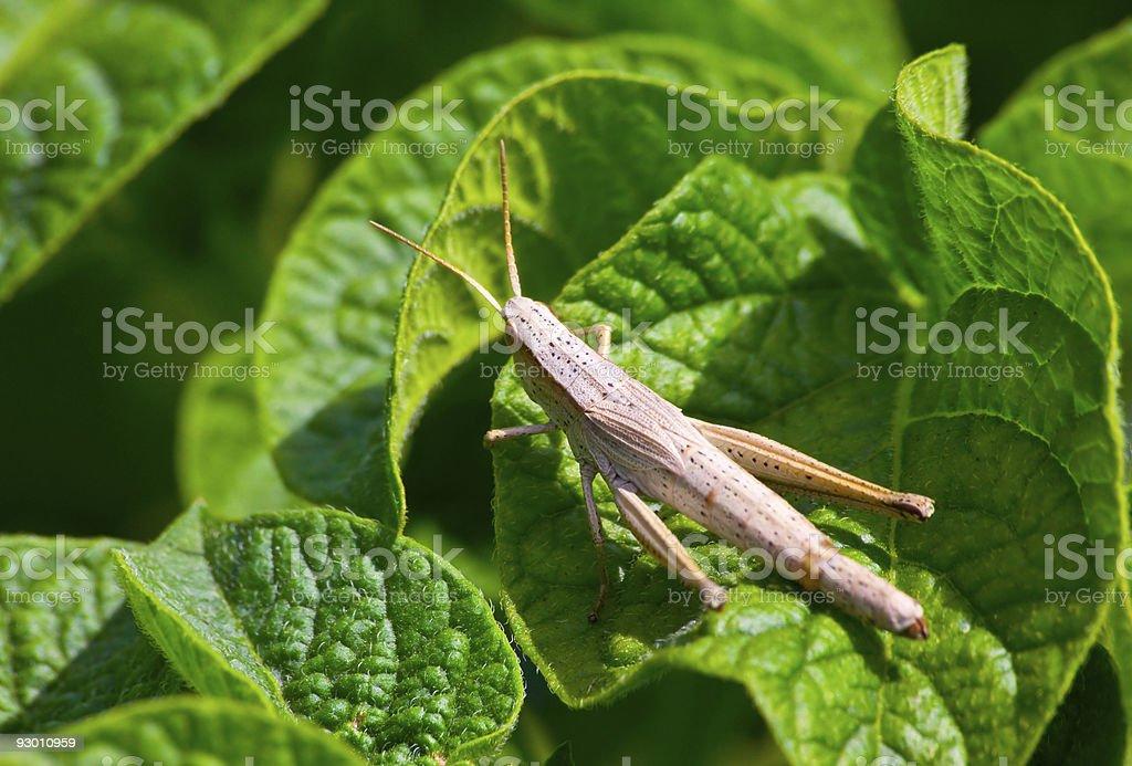 female grasshopper royalty-free stock photo