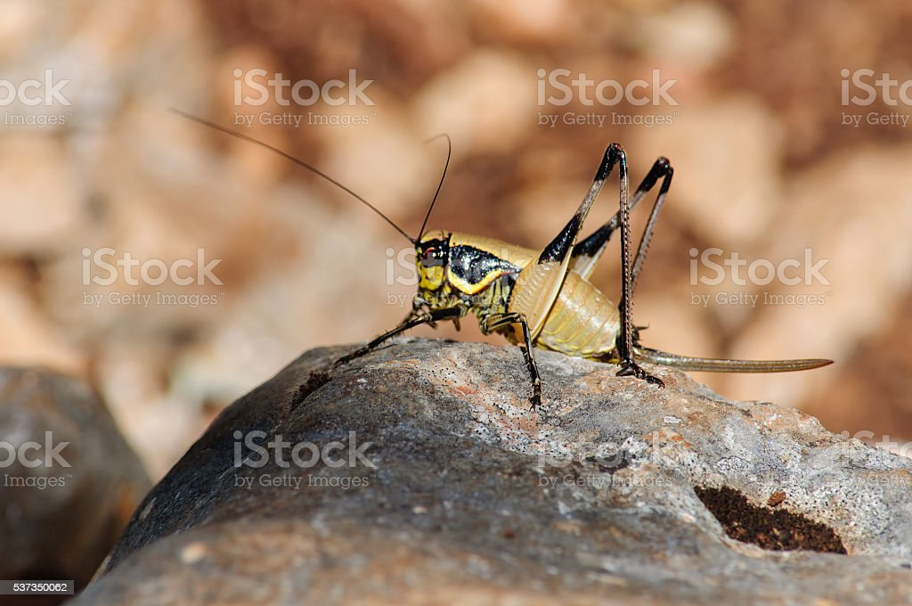 female grasshopper sitting on a large stone. stock photo