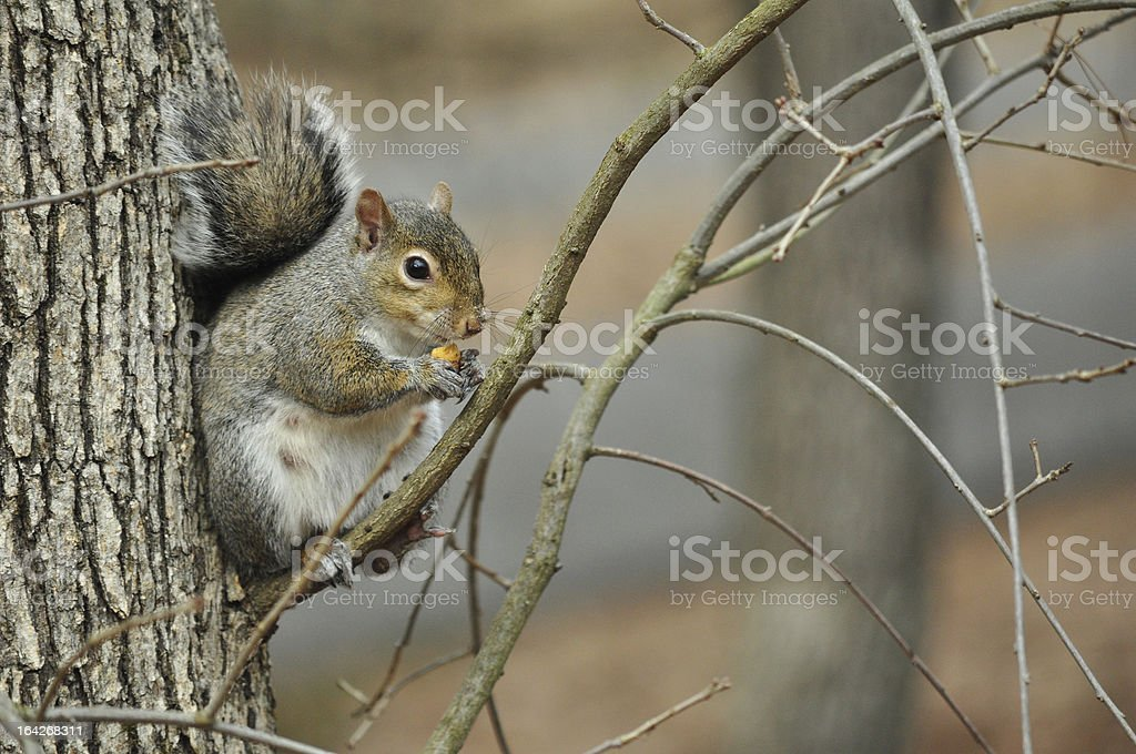 Female Gray Squirrel in Tree royalty-free stock photo