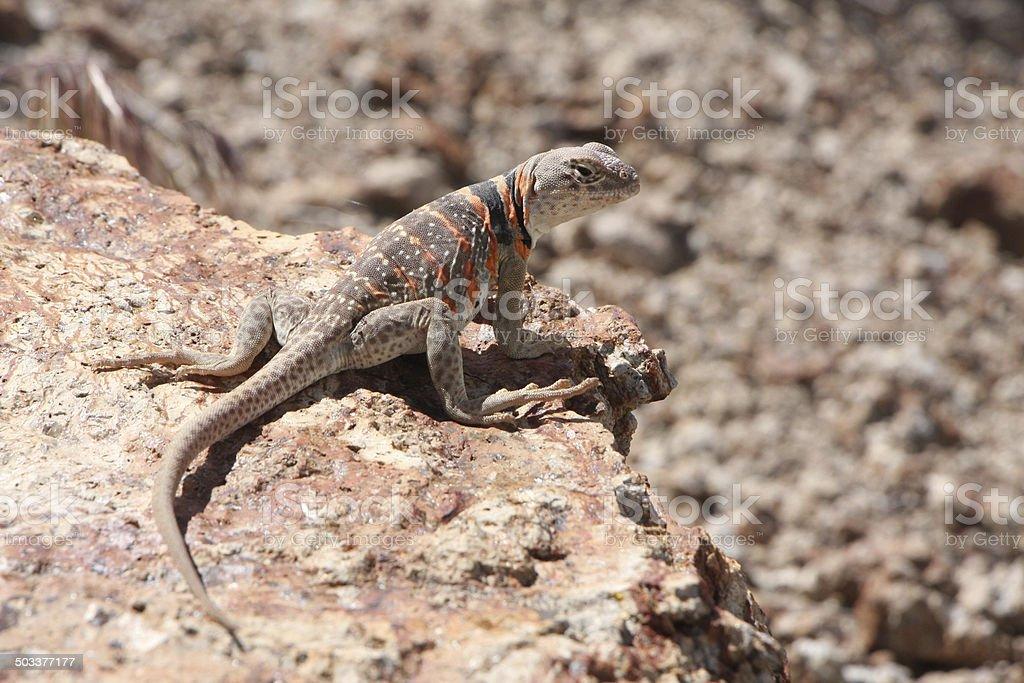 Female Great Basin Collard Lizard stock photo